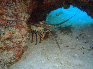 12 Benthic Biota_Lobster