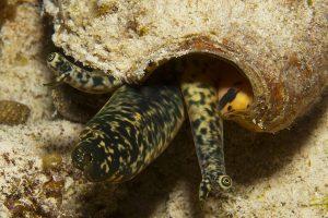 13 Benthic Biota_Queen conch