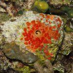 7 Benthic Detractor_Clionid sponge in coral