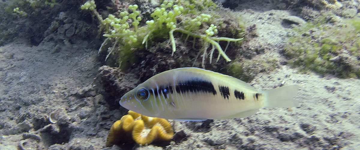 Reef Focus : New fish species discovered -  Striped Hamlet